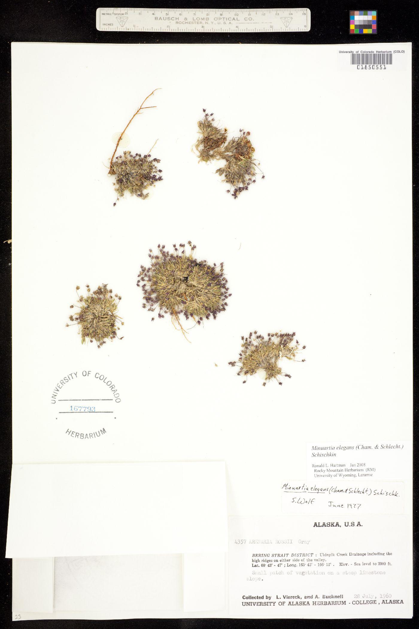 Alsinanthe elegans image