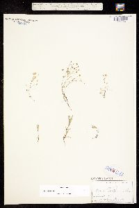 Arenaria californica image