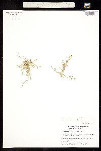 Arenaria tetraquetra image