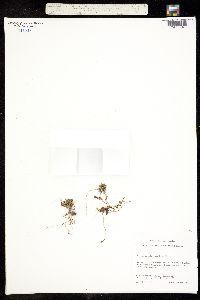Image of Arenaria humifusa
