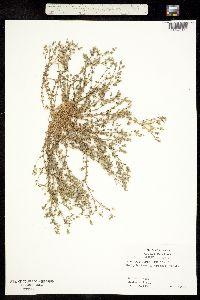 Image of Arenaria serpyllifolia