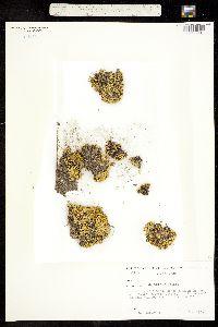 Arenaria bryoides image