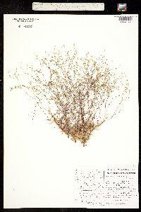 Arenaria howellii image