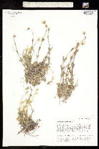 Image of Cerastium alpinum
