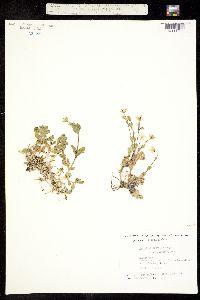 Image of Cerastium arcticum
