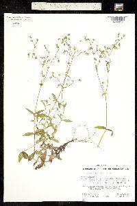 Cerastium sordidum image