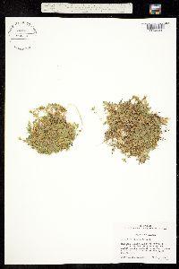 Cerastium aleuticum image