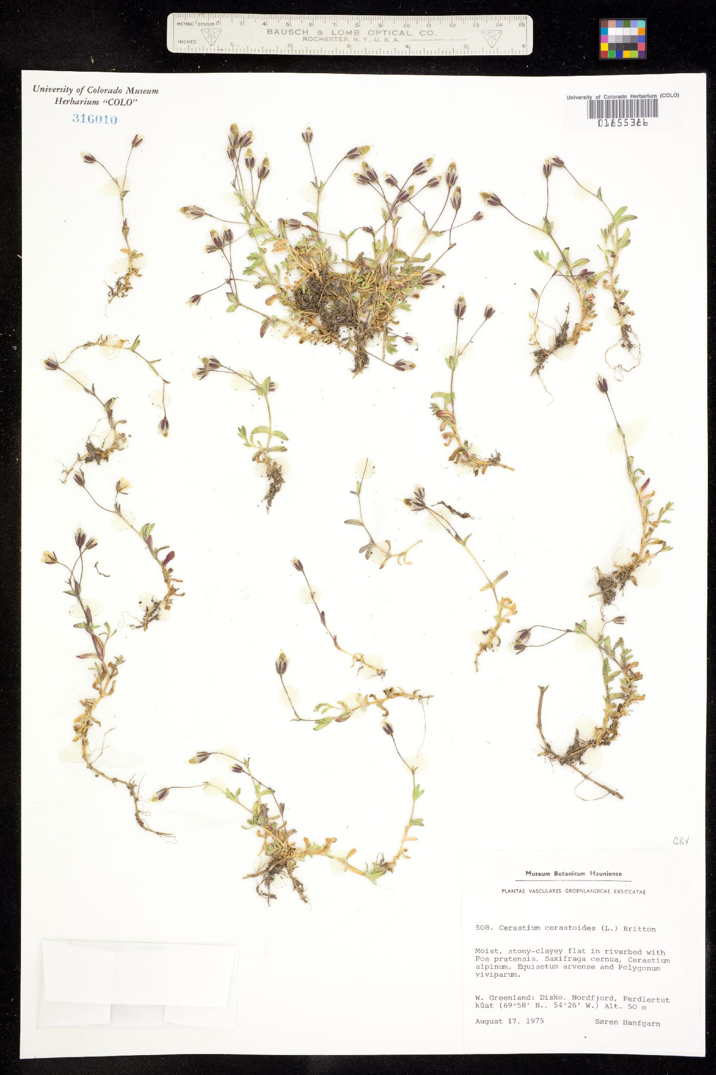 Dichodon cerastioides image