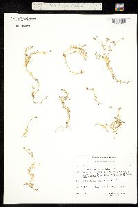 Image of Cerastium cerastoides