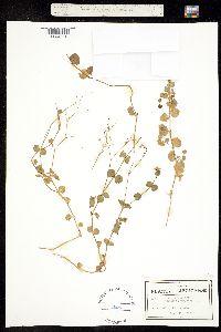 Image of Drymaria cordata