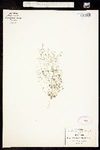 Drymaria gracilis image