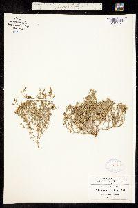 Image of Drymaria arenarioides