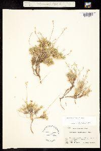 Eremogone aculeata image