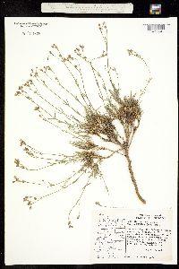Eremogone capillaris image