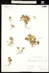 Image of Honckenya peploides