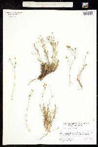 Image of Minuartia yukonensis
