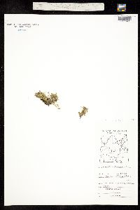 Minuartia biflora image
