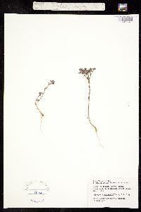 Image of Paronychia drummondii
