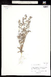 Paronychia drummondii image