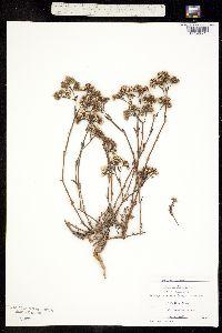Image of Paronychia erecta