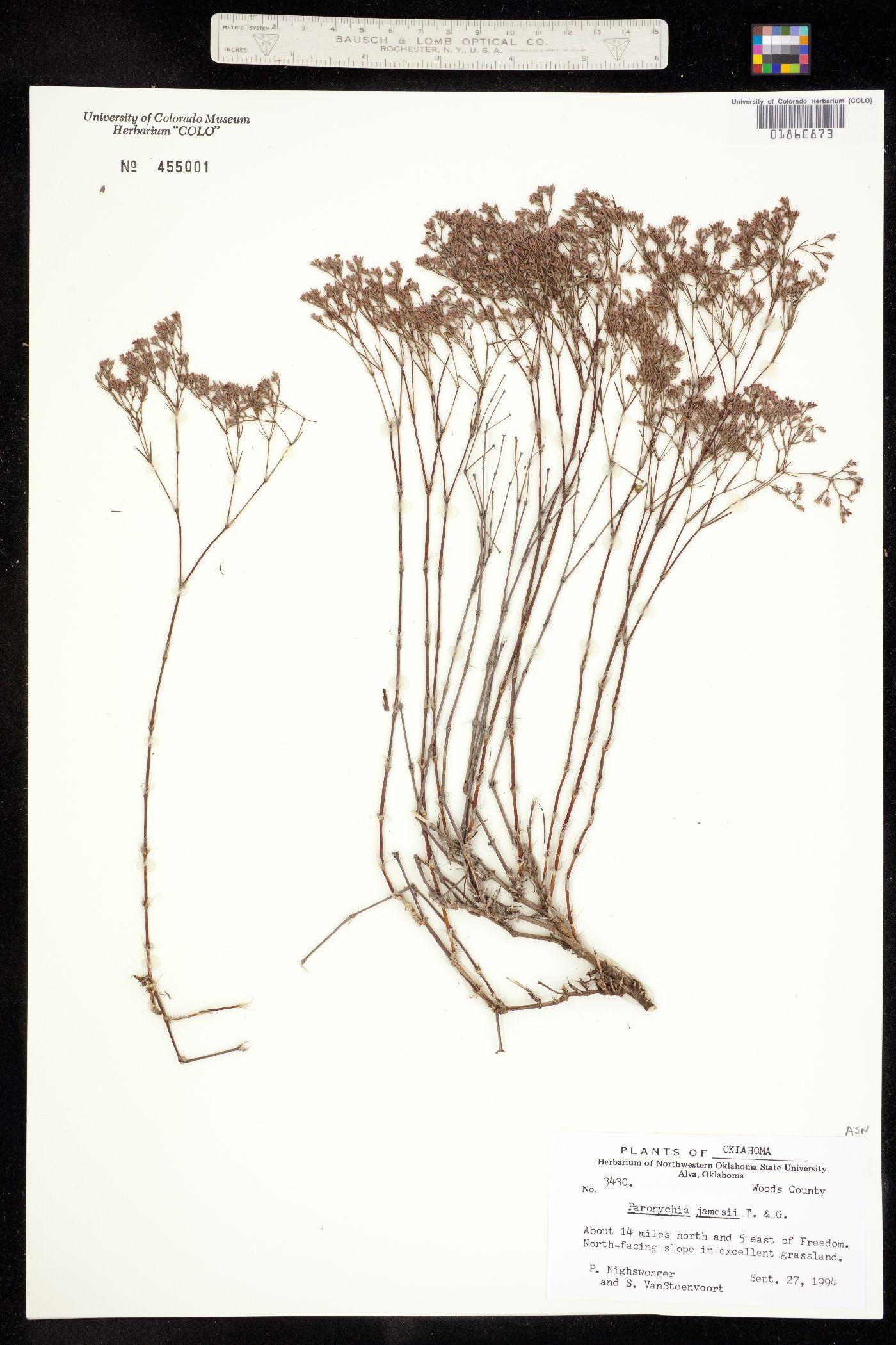 Alsinaceae image