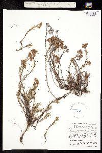 Paronychia virginica image