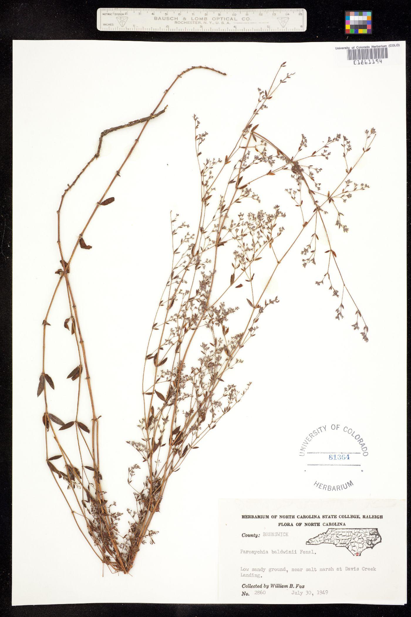 Paronychia baldwinii image
