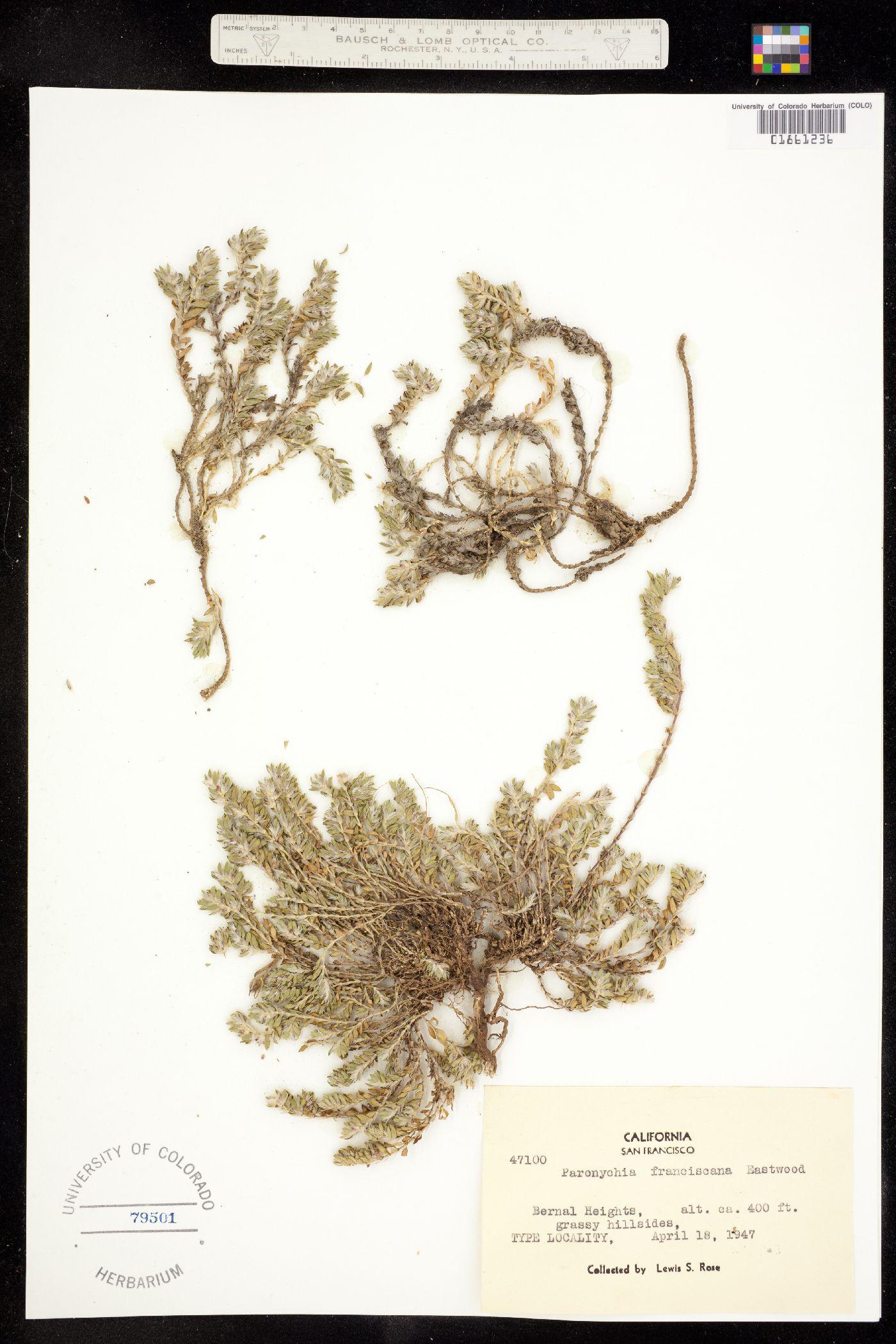 Paronychia franciscana image