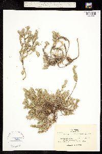 Image of Paronychia franciscana