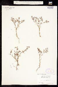 Image of Paronychia setacea
