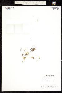 Minuartia groenlandica image