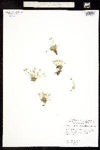 Image of Minuartia groenlandica