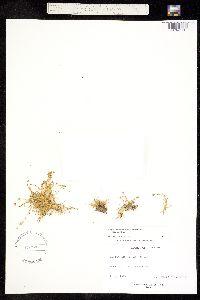 Sagina maxima image