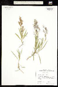 Image of Schiedea mannii