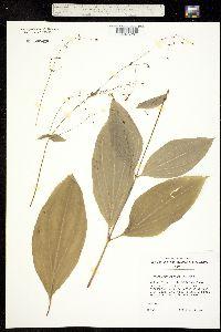 Image of Schiedea membranacea