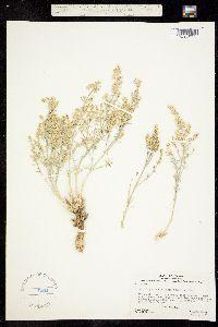 Image of Scopulophila rixfordii