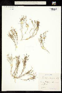 Image of Spergularia echinosperma