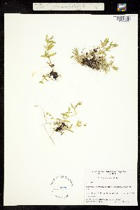 Image of Stellaria alsine