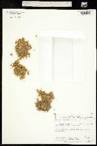 Stellaria humifusa image