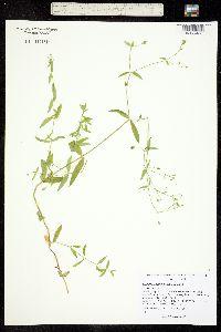 Stellaria longifolia image