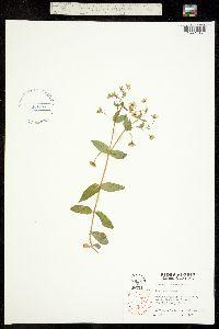 Image of Stellaria pubera