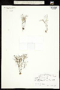 Image of Stipulicida setacea