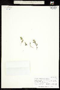 Wilhelmsia physodes image