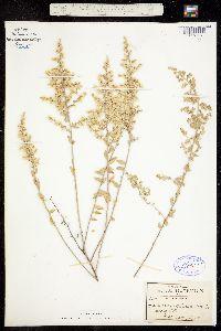 Iresine alternifolia image