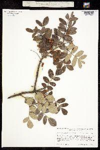 Rhus terebinthifolia image