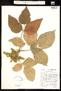 Image of Toxicodendron vulgare