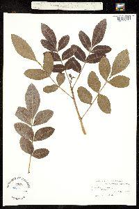 Schinus polygamus image