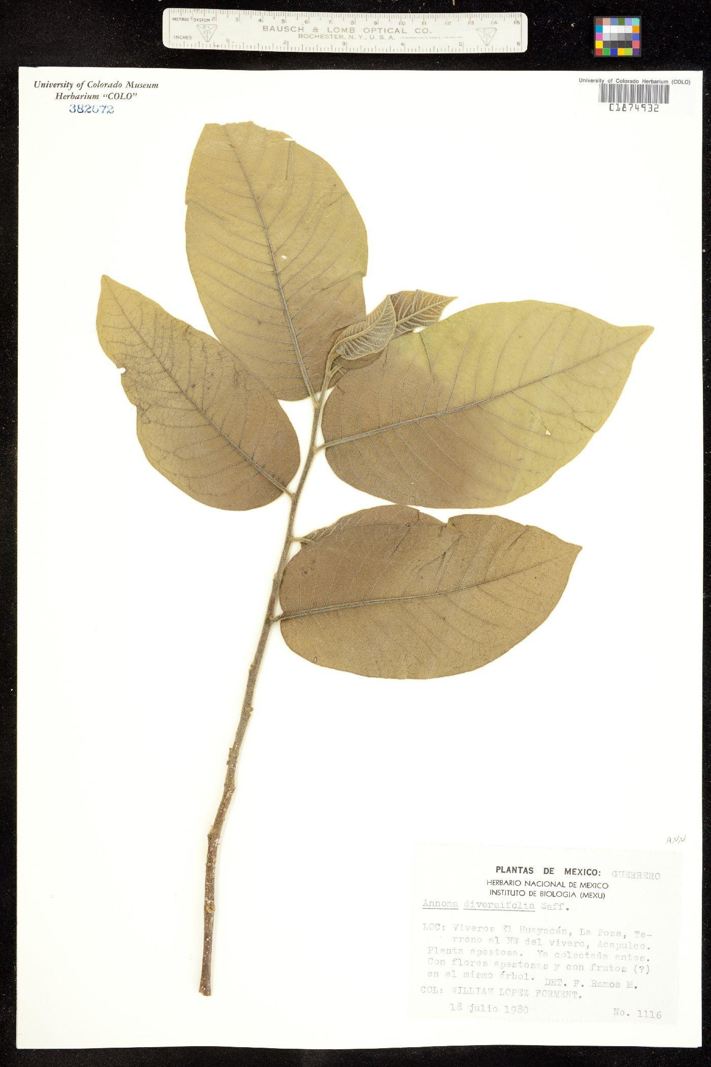 Annona diversifolia image