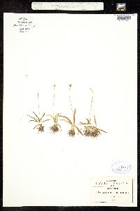 Image of Anthericum nanum