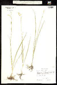 Echeandia flavescens image